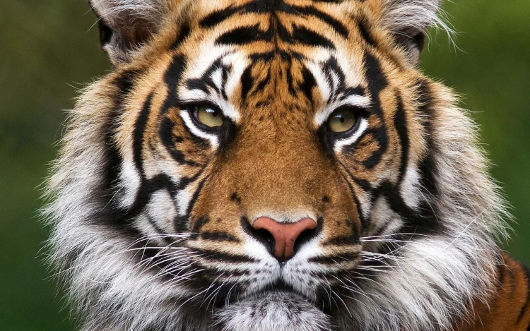 Фототур «Большие кошки Индии»