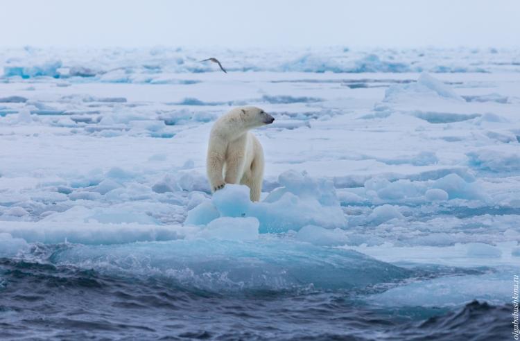 Фотоэкспедиция «В гости к белому медведю»