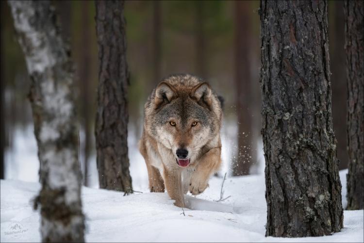 Фототур «Рождество в Красном Бору»: фотосъемка дикой природы Беларуси
