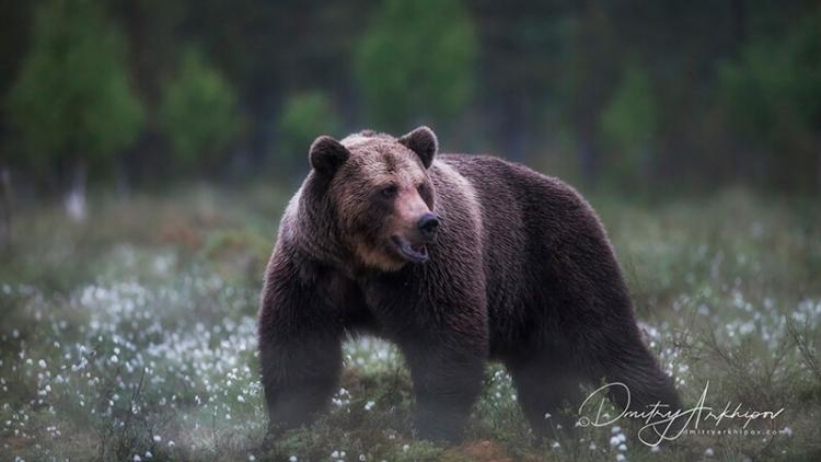Фототур «Бурые медведи Карелии»