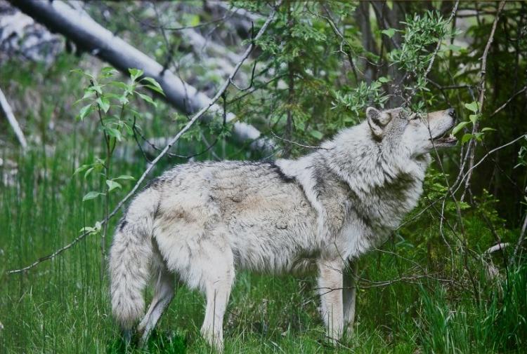 Выставка «Волки. Рождённые свободными»