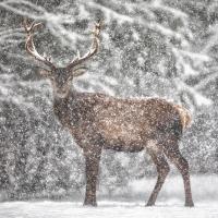 Фототур «Волки иблагородные олени»